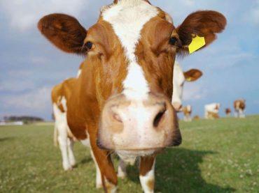 Glasaj za kravu