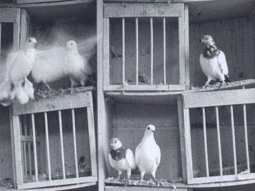 Džamijski golub između Bugojna i Trebinja