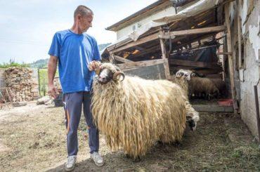 Ovce su pravo blago