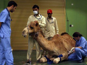 Klinika za kamile
