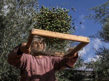 Izrael u jeku berbe zabranio Palestincima da ulaze na svoje plantaže maslina